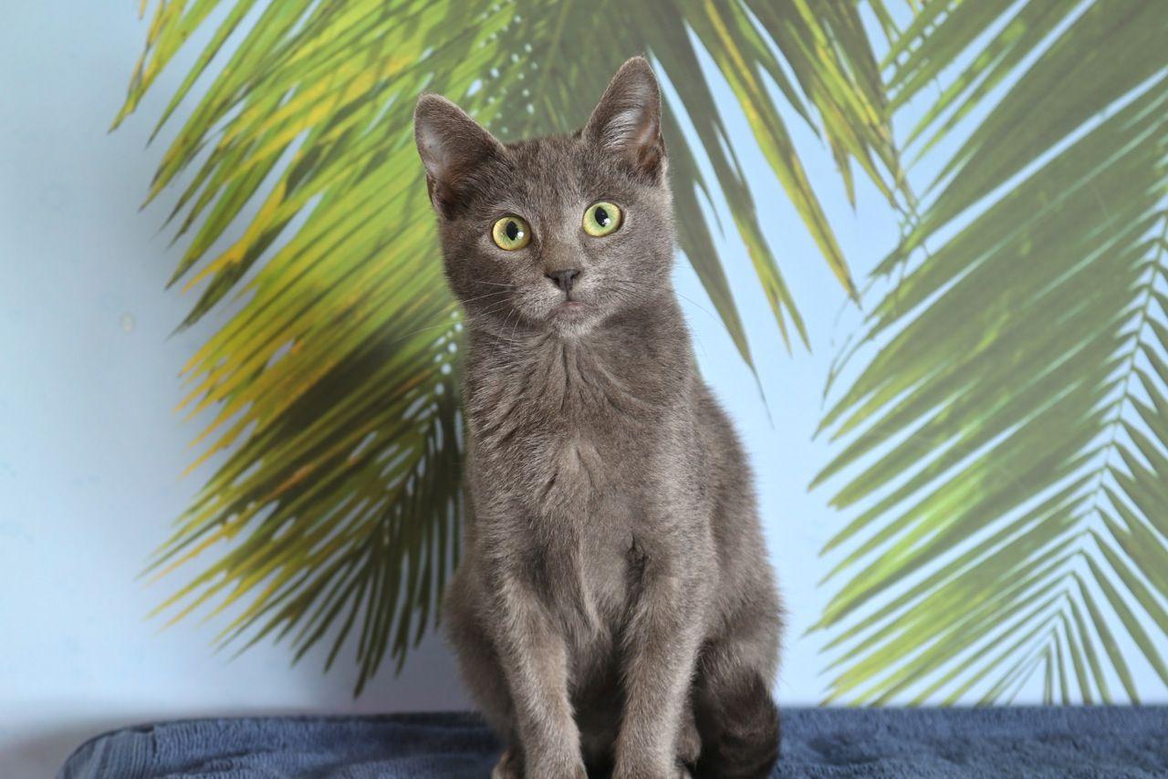 Gabriel Kitten Adoption Grey Kitten Cat Adoption