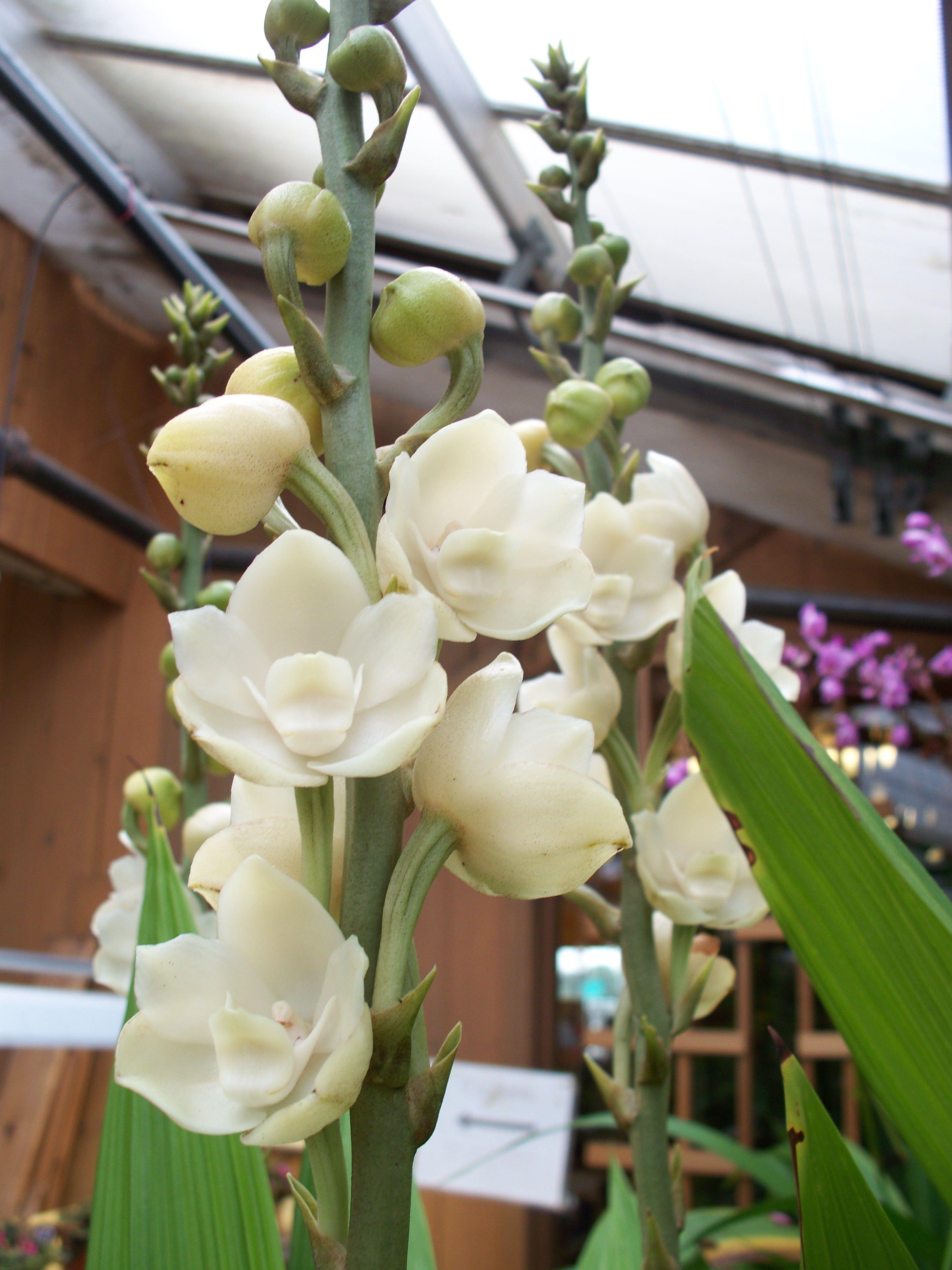 Dove Orchid 'peristeria Alata'