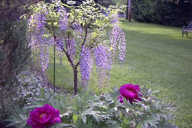 How Cool I Don T Often See A Free Standing Wisteria Tree Usually