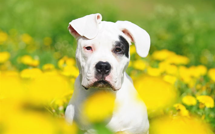 Download Wallpapers Argentine Dogo 4k Summer Cute Animals Pets Dogo Argentino Bokeh Dogs Argentinian Mastiff Argentine Dogo Dogs Besthqwallpapers Com Cute Animals Animals Pets