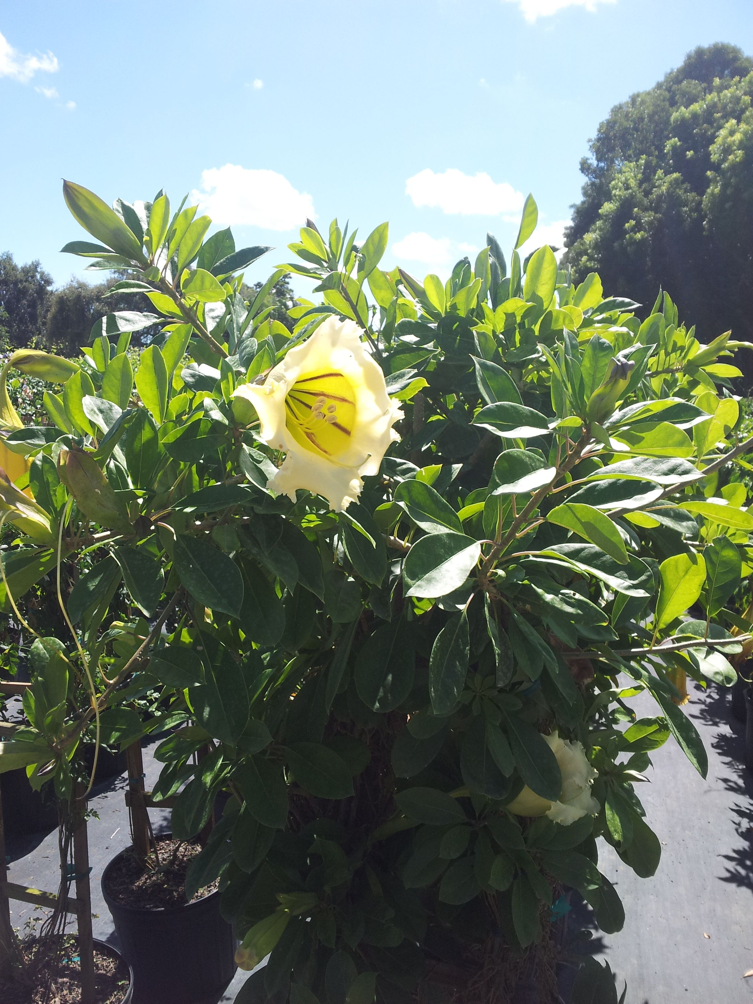 Yellow Hibiscus Flower Ready In Bloom Flowers Realpalmtrees