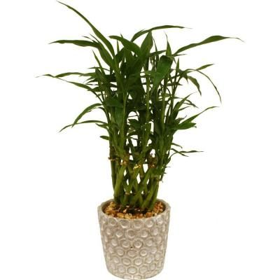 5in Bamboo Hillary White Pot 20
