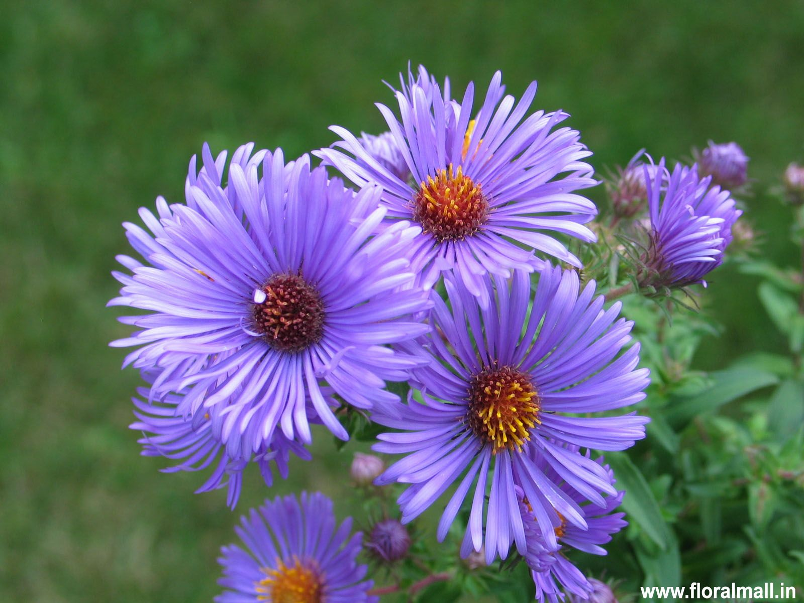 Few Drought Tolerant Plants Provide Such Intense Color During The Fall And Fall Aster Is The Most Prominent One Aster Flower Plants Water Wise Plants