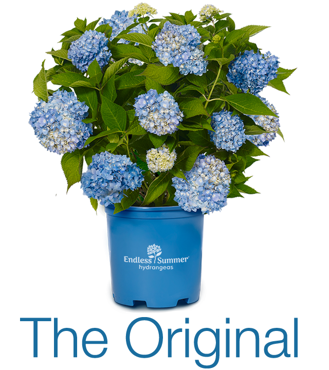 Changing Hydrangea Color Is Easy Me Pink Or Blue
