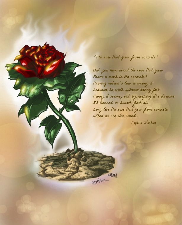 Rose That Grew From Concrete By Spydaman Concrete Rose Rose