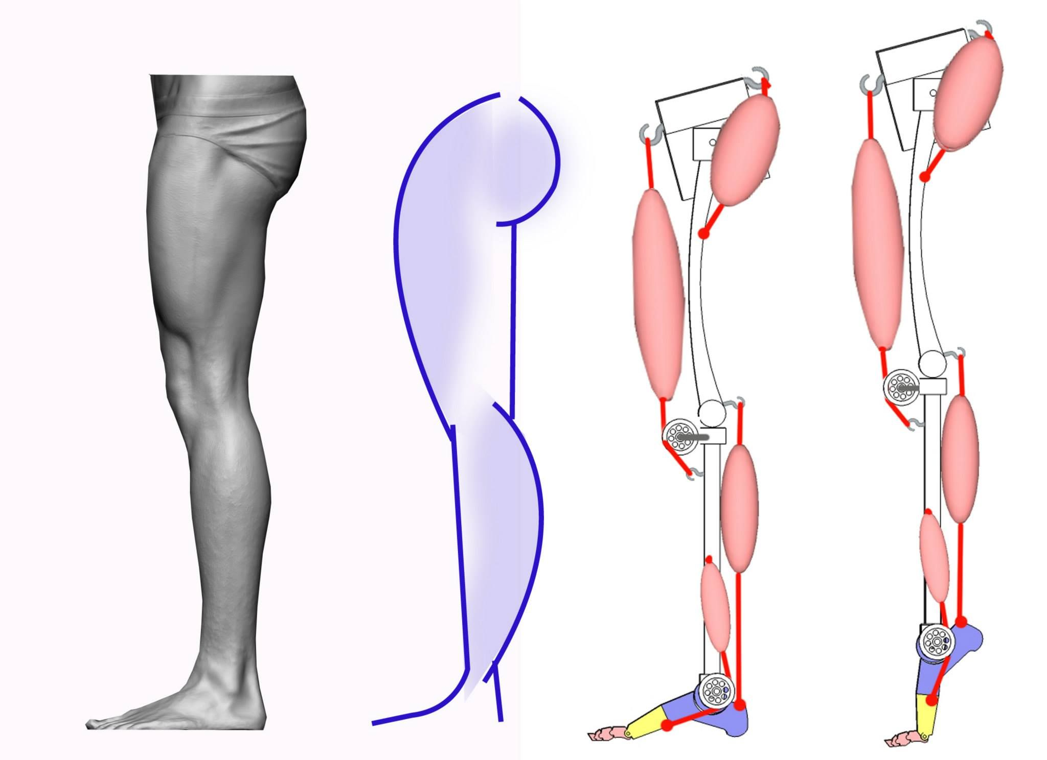 Anatomy 4 sculptors - Mechanics of the main muscle groups that ...