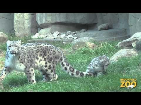 Snow Leopard Cub Makes Public Debut At Brookfield Zoo