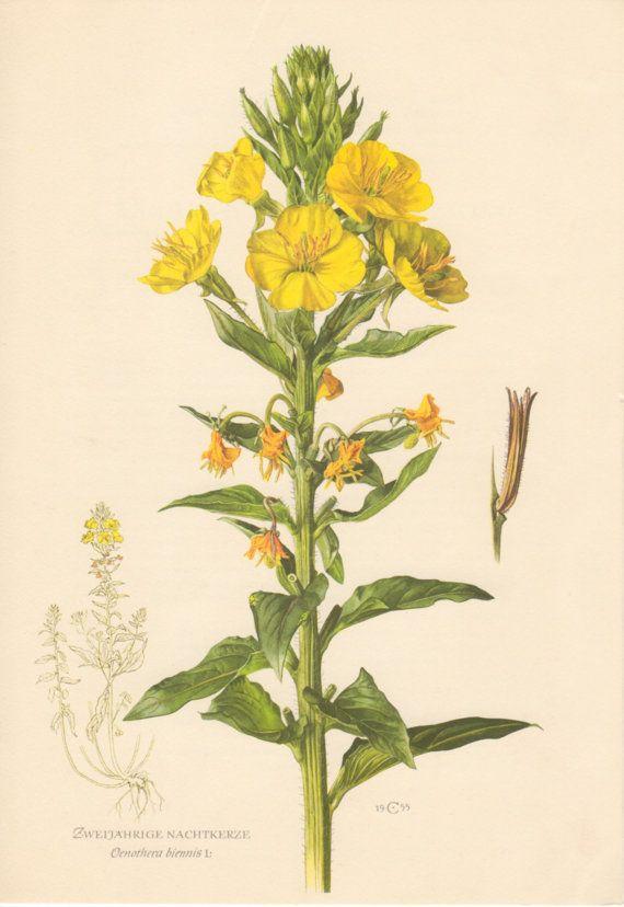 1955 Evening Primrose, Antique Botanical Print, Vintage ...