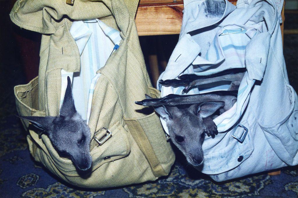 Orphan kangaroos waiting for lunch