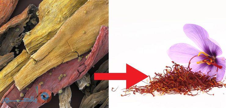 صورة شعيرات الزعفران تحت المجهر