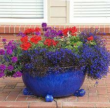 Love the blue lobelia....nice