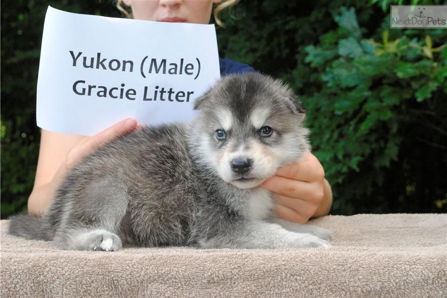 Meet Little Yukon A Cute Wolf Hybrid Puppy For Sale For 800 87