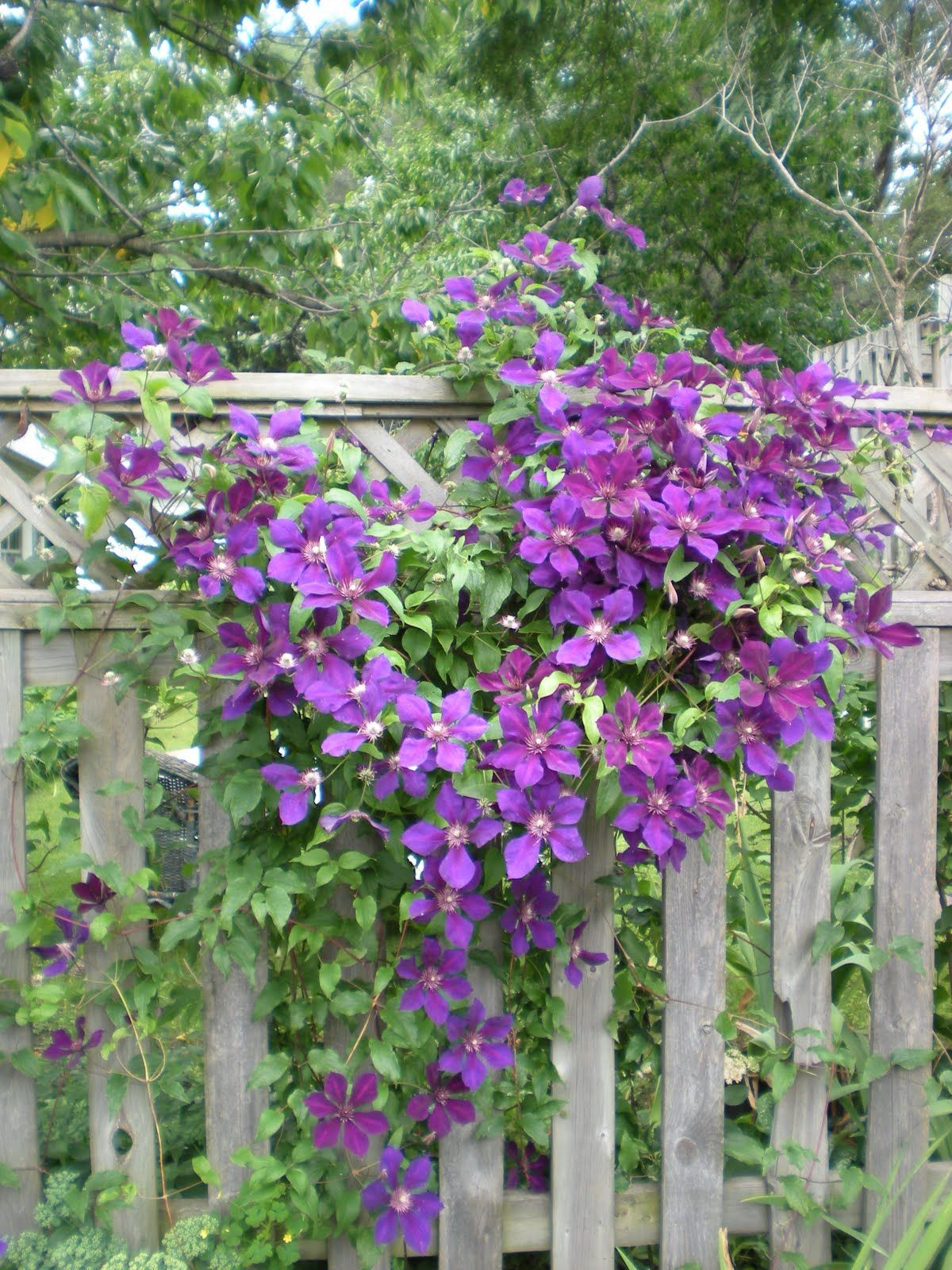 Clematis-put up chicken wire along privacy fencing for ...