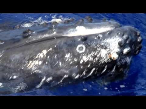 Humpback Whale Watching Hawaii Big Island