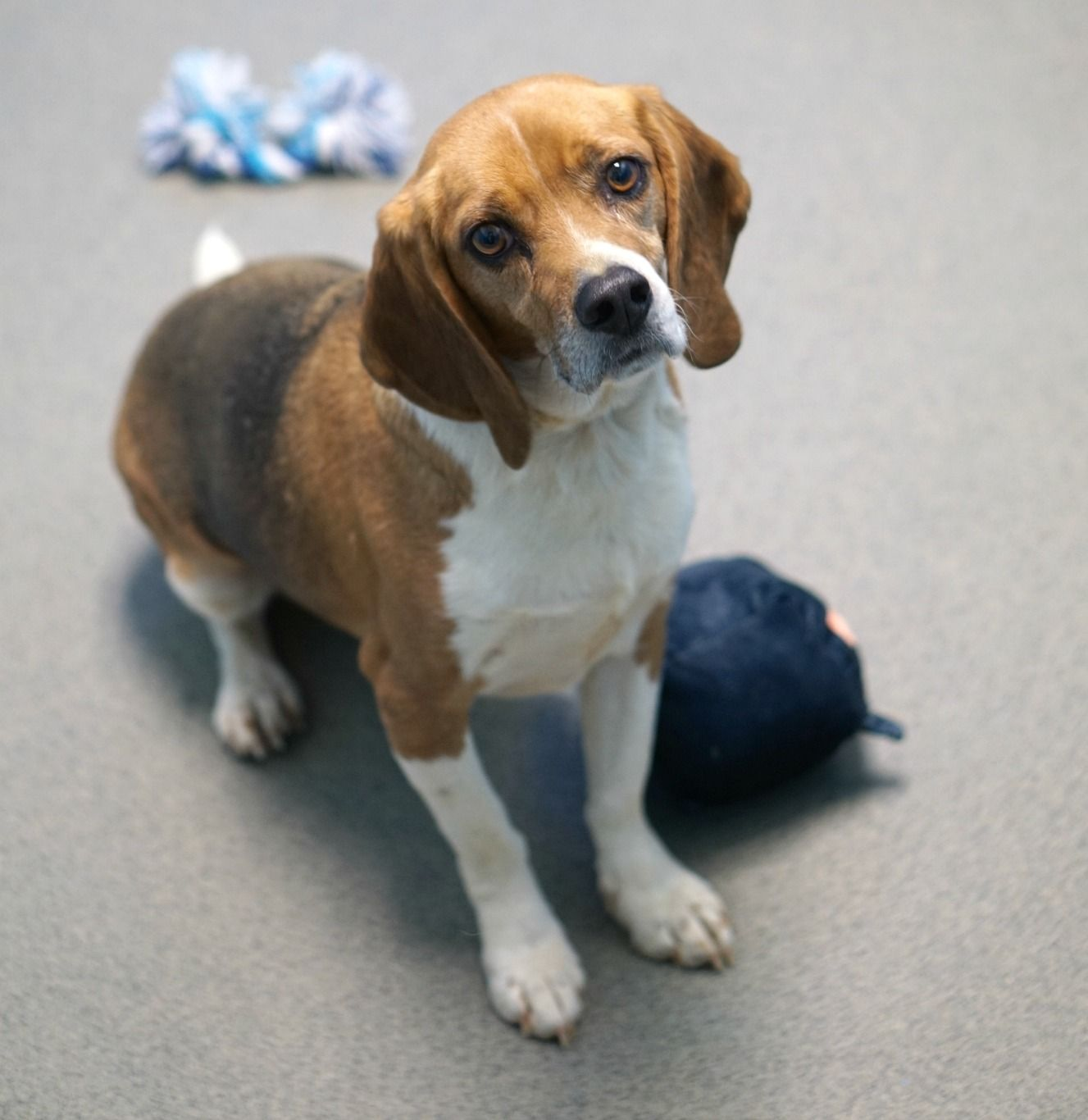 Beagle Dog For Adoption In Rocky Mount Va Adn 783348 On