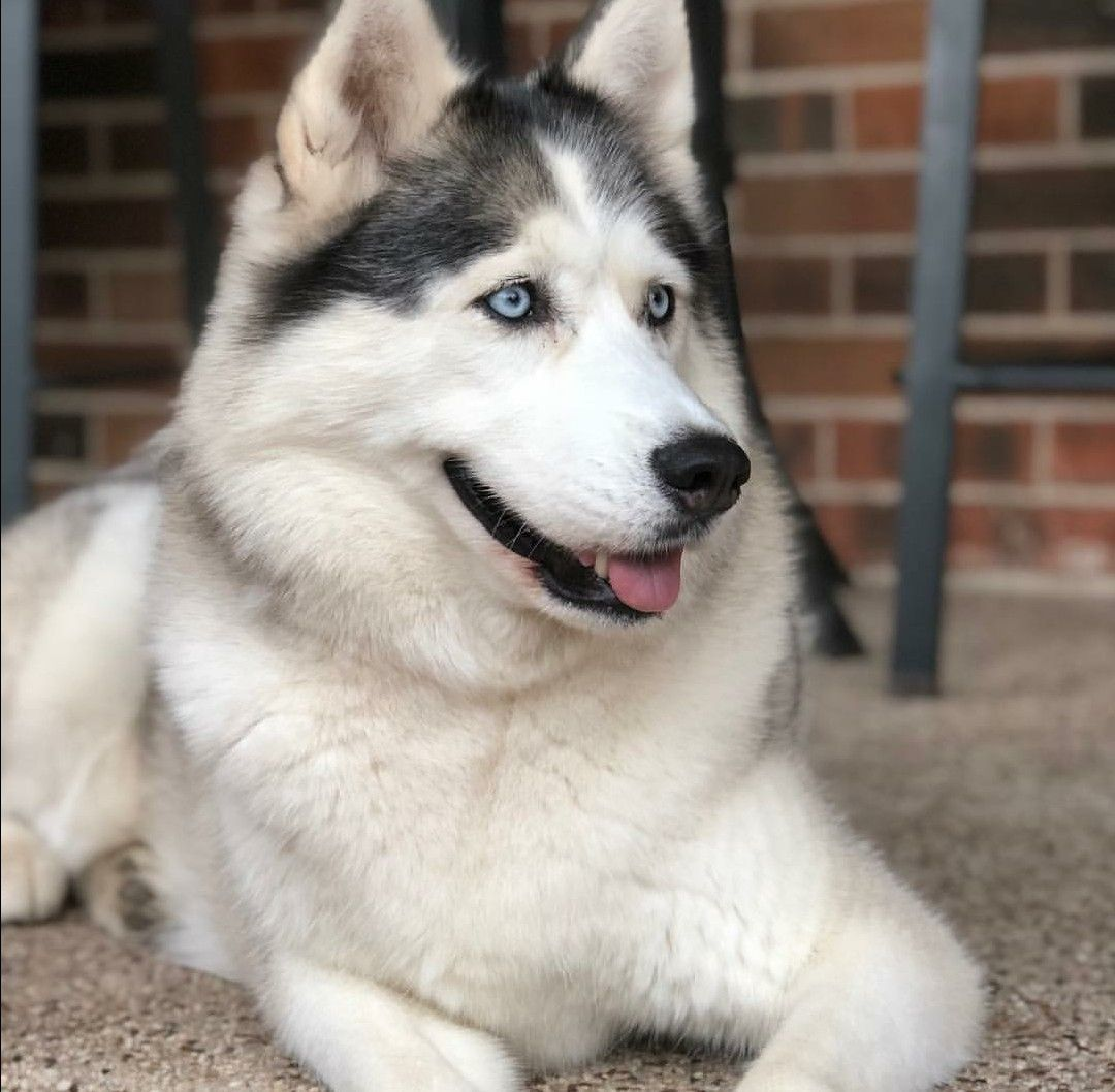 Image By Husky Mom On Dogs And Cats Mostly Dogs Siberian Husky