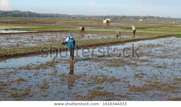 How Grow Rice Fields Stock Photo Edit Now 1616344333 Stock Photos Photo Photo Editing