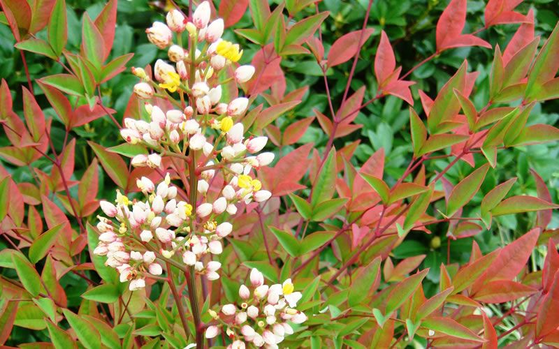 Compact Heavenly Bamboo Nandina Is A Smaller Version Of The Species The Old Fashioned Bamboo Nandina And Has Flowering Shrubs Landscaping Plants Large Plants