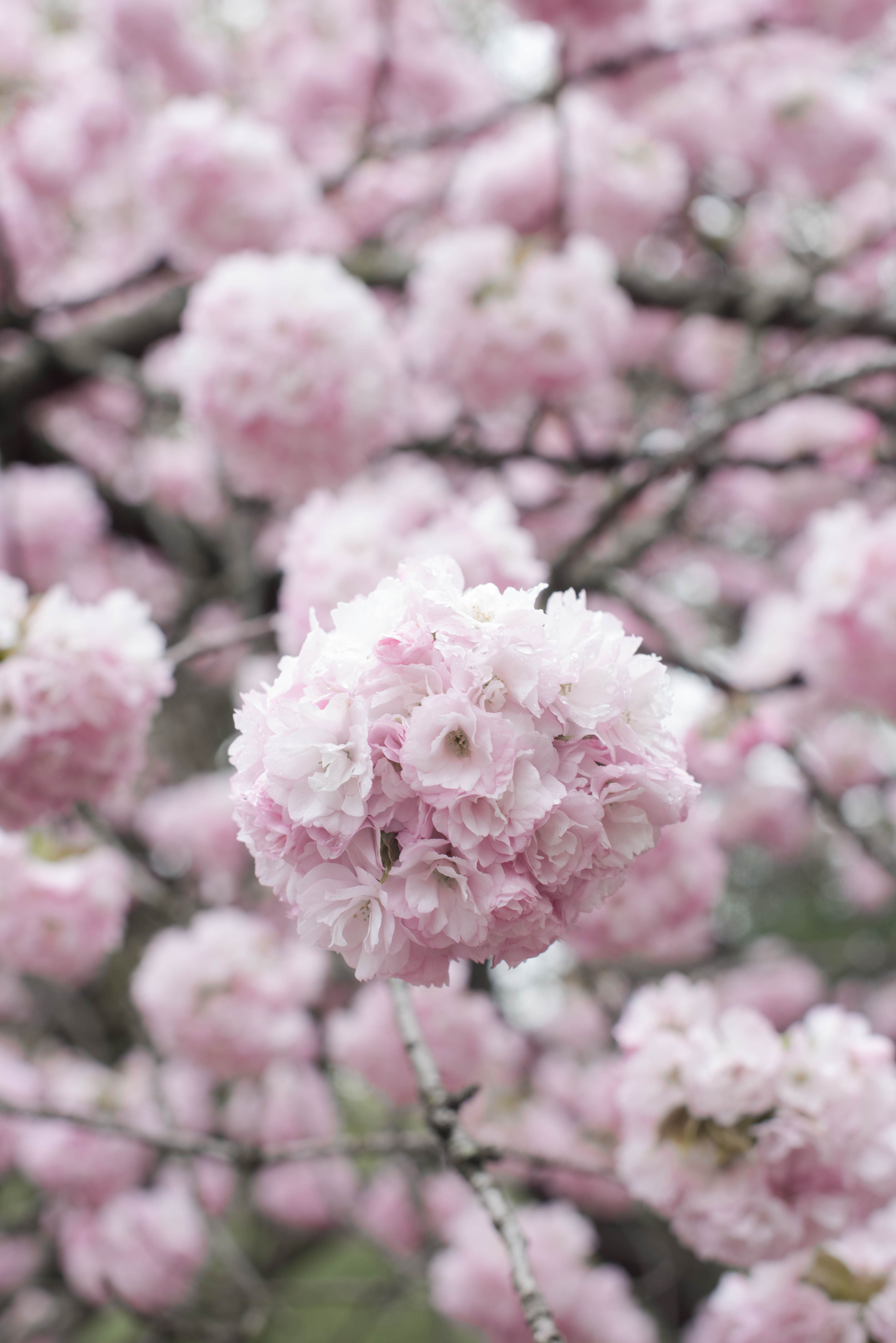 Cherry Blossoms 6 Flowering Trees To Grow At Home Gardenista Spring Flowering Trees Cherry Blossom Flowers Cherry Tree Varieties