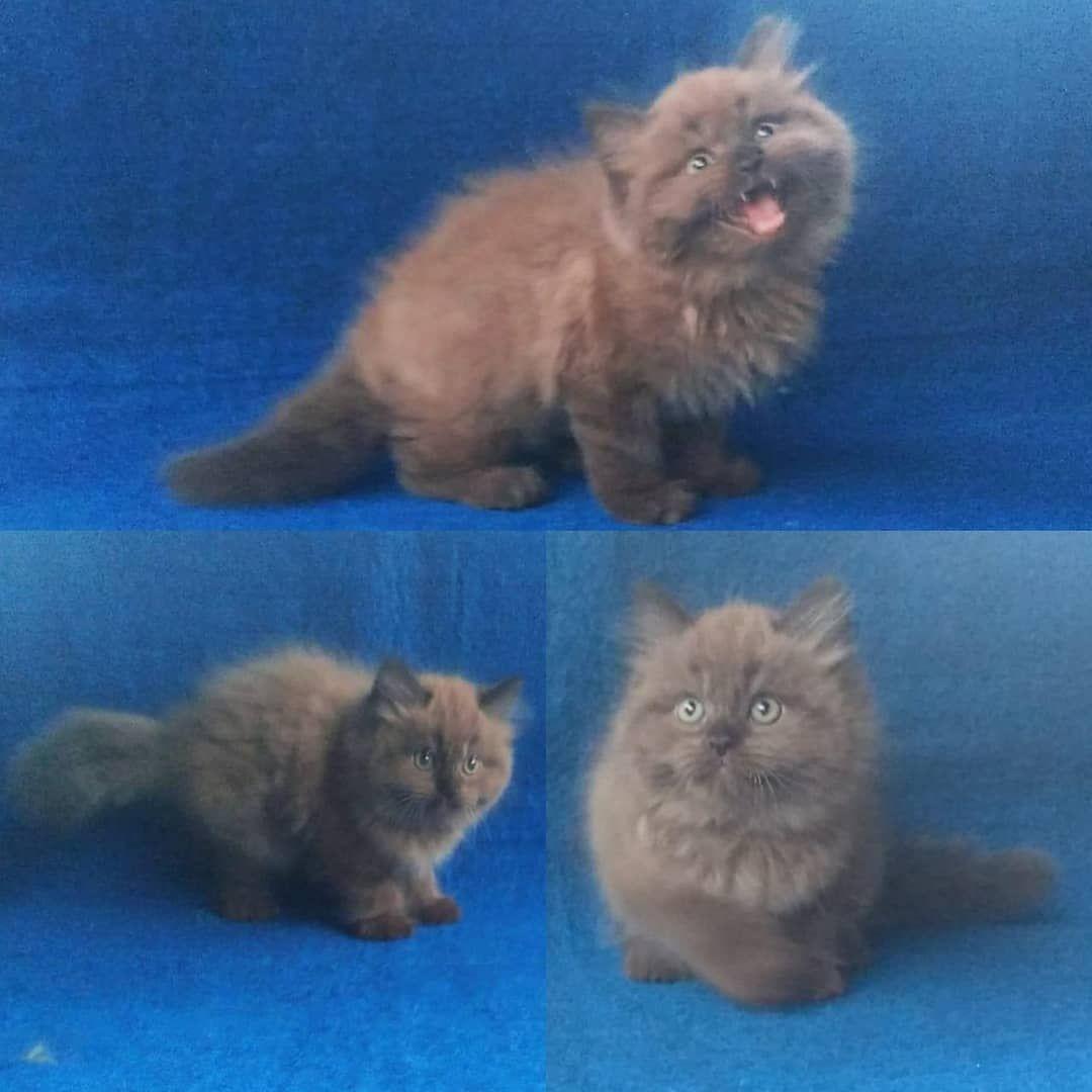 Was Adopted Ready Persia Himalaya Coklat Jenis Kelamin Jantan Whatsapp 082121957183 Kucingmedan Jualkucingmedan Kucingpersiamedan Pussypetshop Animals Cats