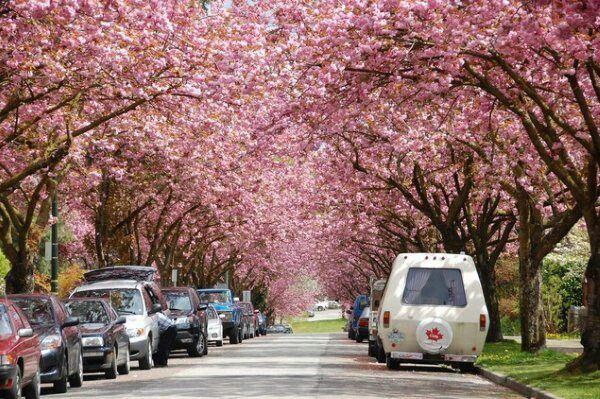 Pin By Angela Consalvi On Vancouver Bc Vancouver Skyline Cherry Blossom Cherry Blossom Festival