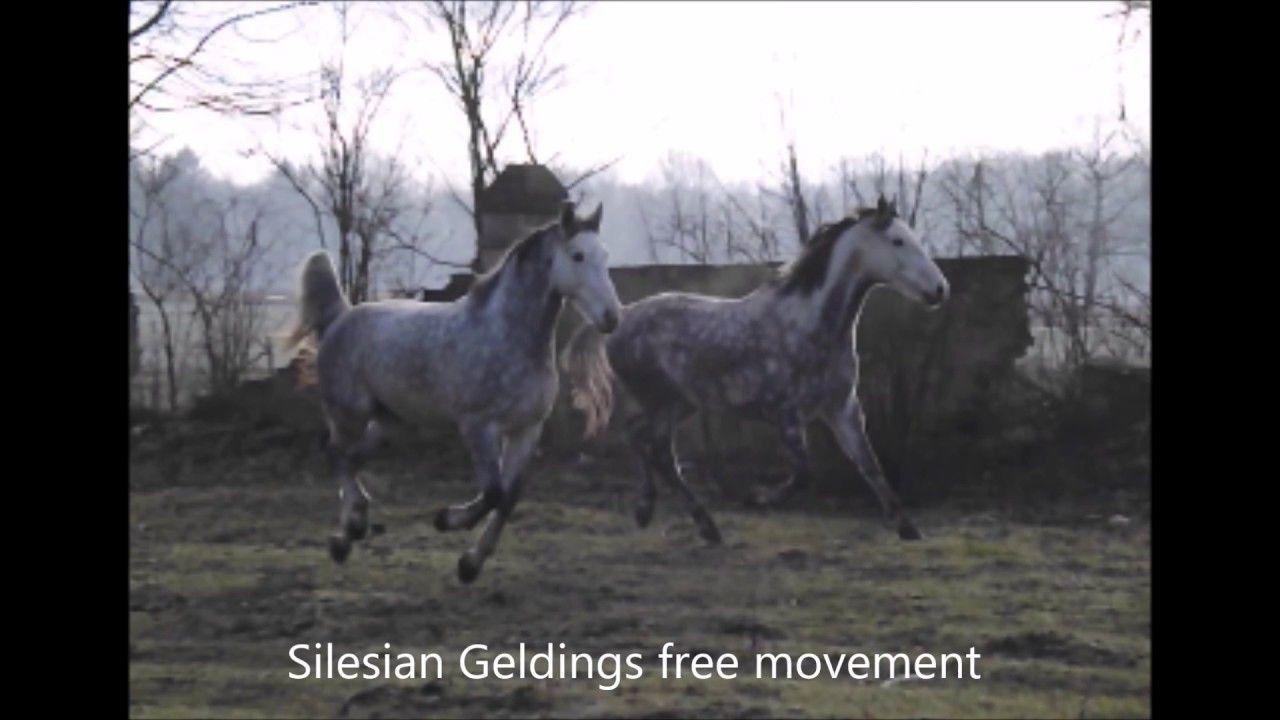 Polish Warmbloods Silesian Geldings Free Time In Studniska Gelding Warmblood Horses