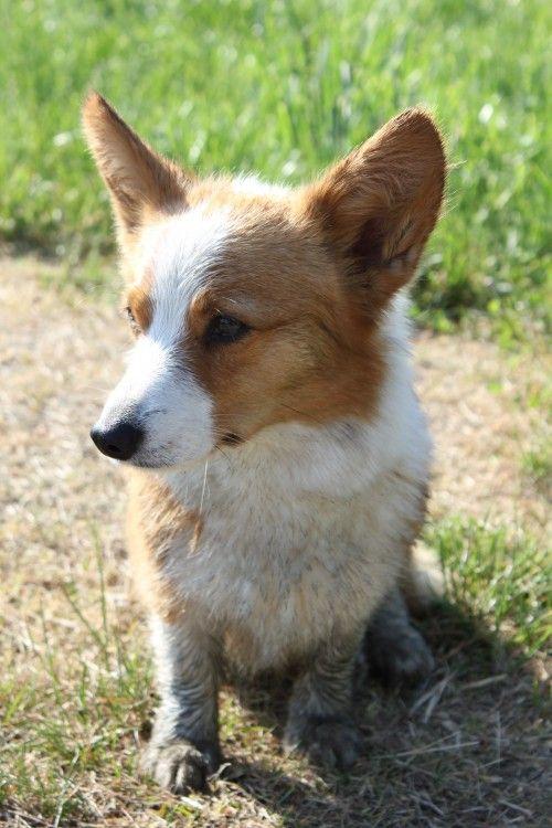 Pin On Corgis And Dogs