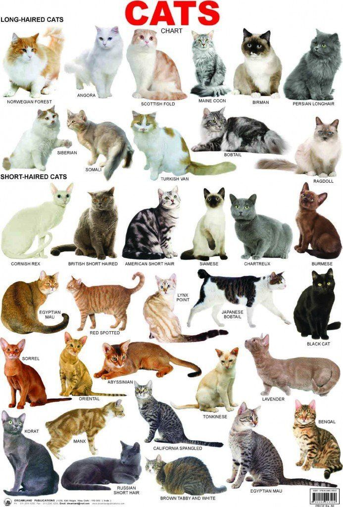 Cat breeds information, characteristics and behavior