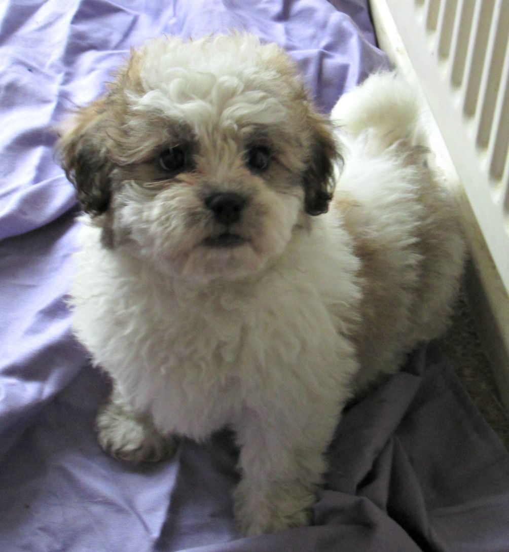 shih tzu and bichon best 25 bichon shih tzu mix ideas on pinterest teddy 2411
