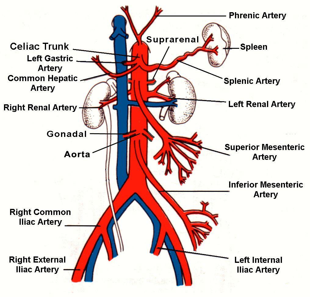 legend: * 1 = abdominal aorta * 2 = confluence of the splenic vein, Human Body
