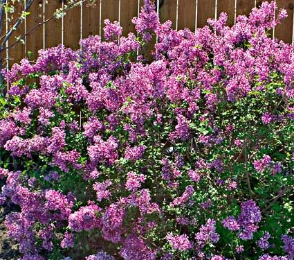 Bloomerang Reblooming Lilac 4 5 Ft Tall Can Use Multiple To Create A Blooming Hedge Bloomerang Lilac Fragrant Flowers Lilac Bushes