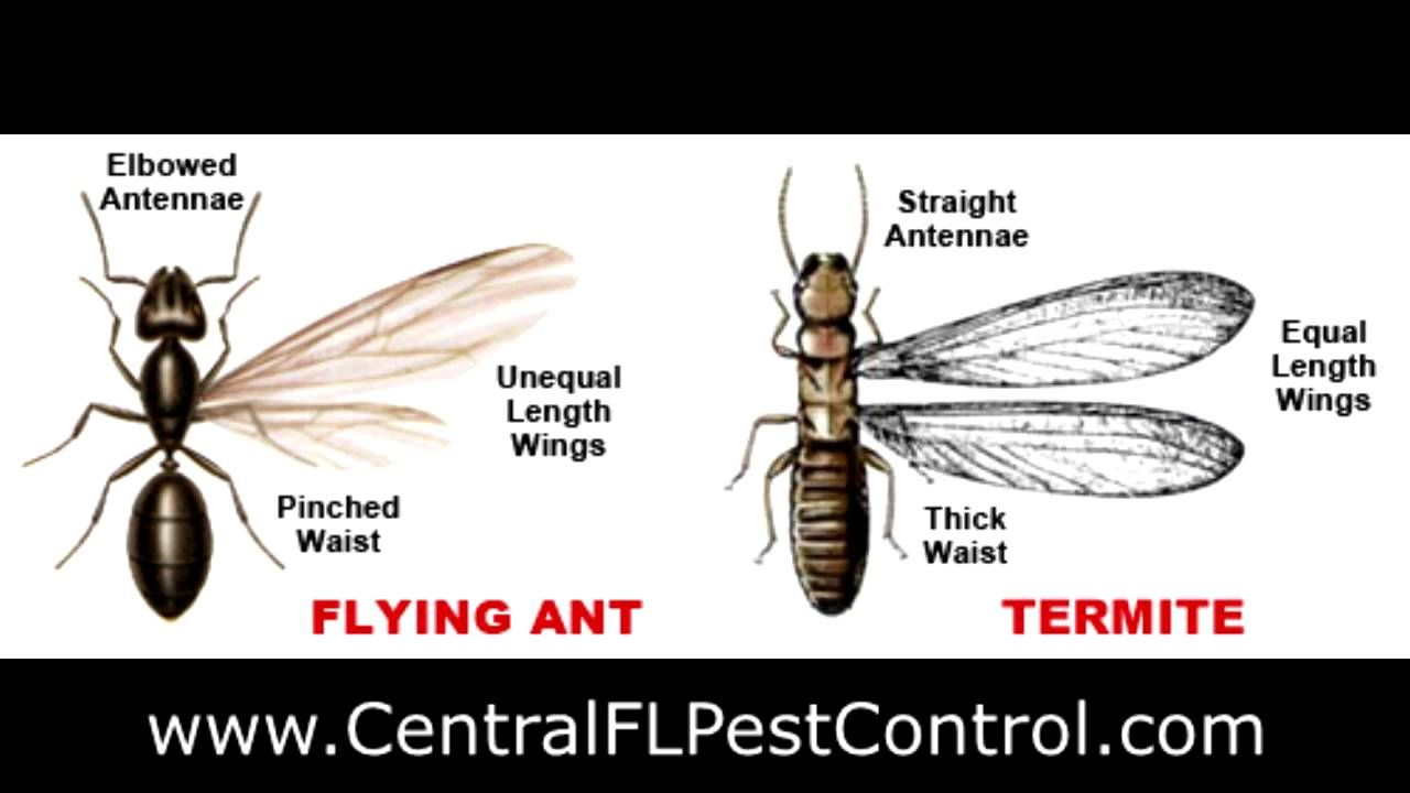 asap pest control - difference between flying ants and
