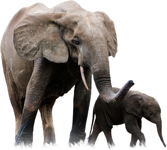 8ab52e134 FOREST ELEPHANT Forest elephants have been cursed with ivory—62% have been  killed for it in the last decade. Elusive by nature