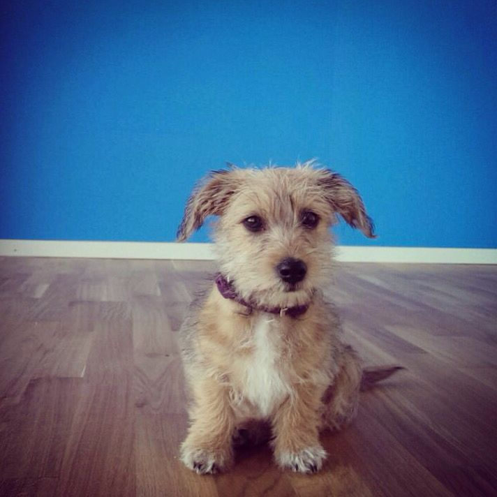 3 Maltese Wire Haired Dachshund Mix Mauxie Puppy With Images