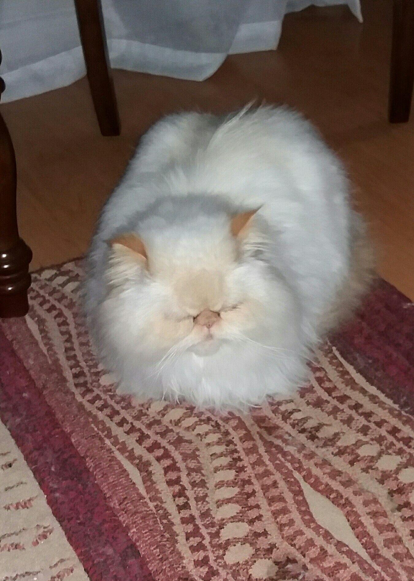 Gato persa pelo corto monterrey