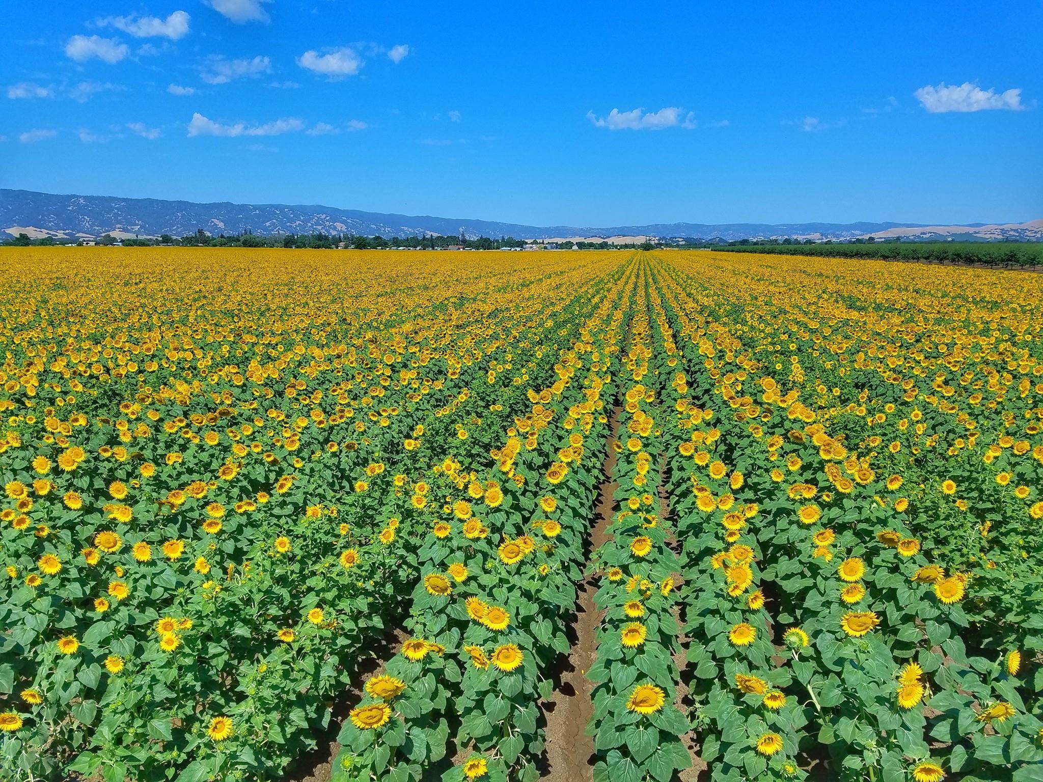 tulip fields near me