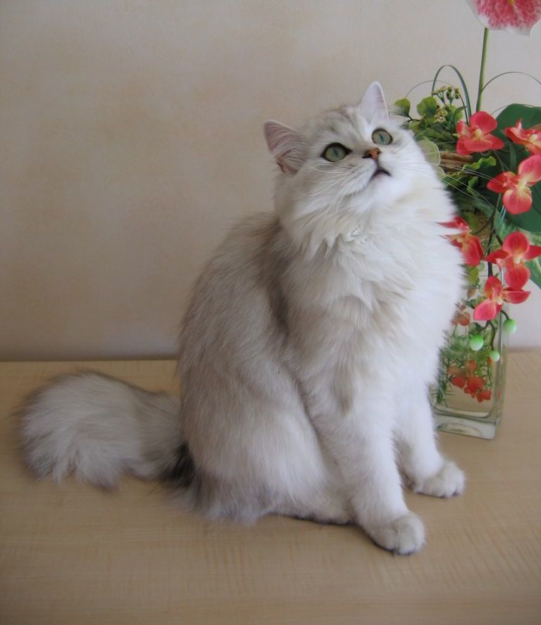 The British Longhair Also Known As The Highlander The Highland