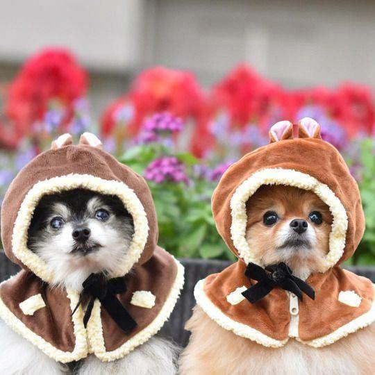 All About  Pomeranian Puppy Temperament #pomeraniansquad #pomeranianlife #pomeranianhusky #teacuppomeranianpuppy