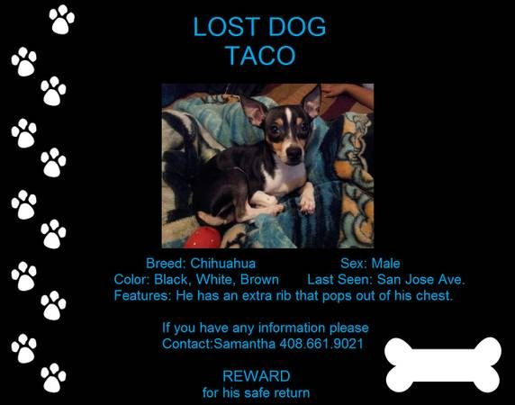 Missing Pet Alert My Chihuahua Taco Has Gone Missing He