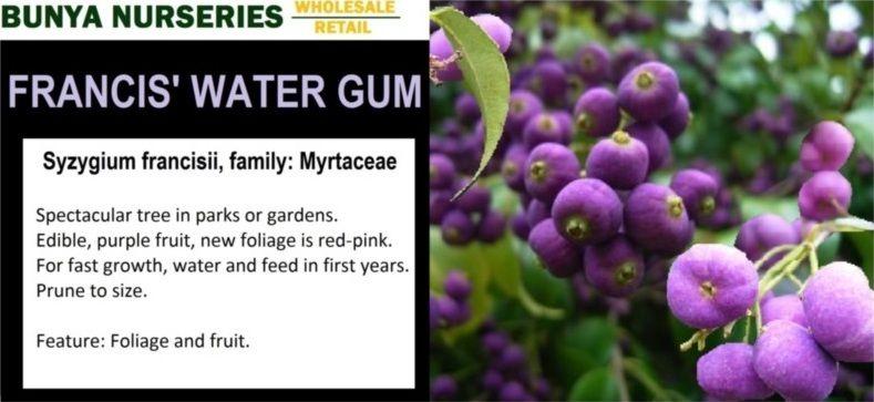 Francis Water Gum Syzygium Francisii Family Myrtaceae