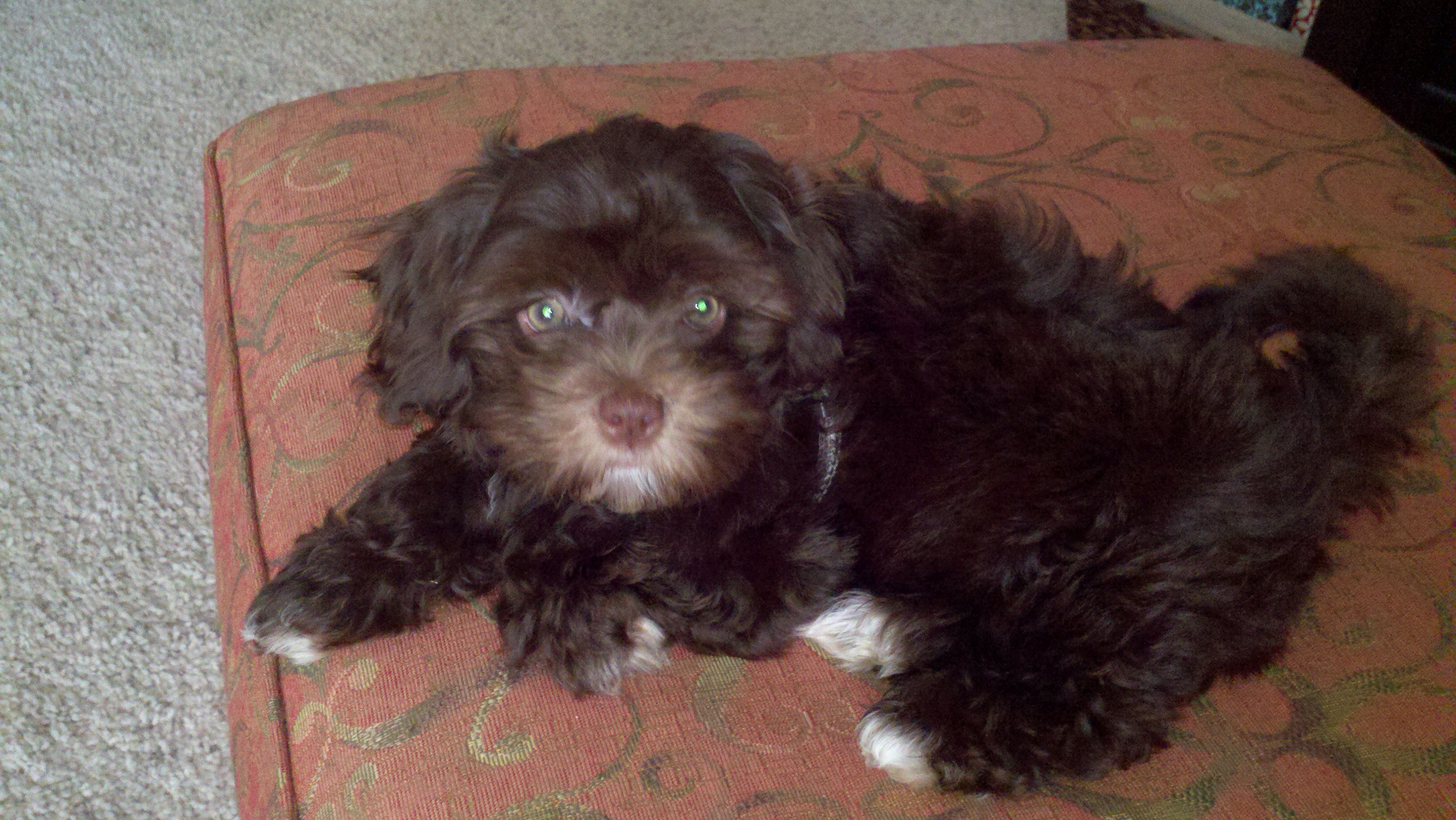 My Chocolate Brown Tuxedo Coat Maltipoo As A Puppy Charlie Brown