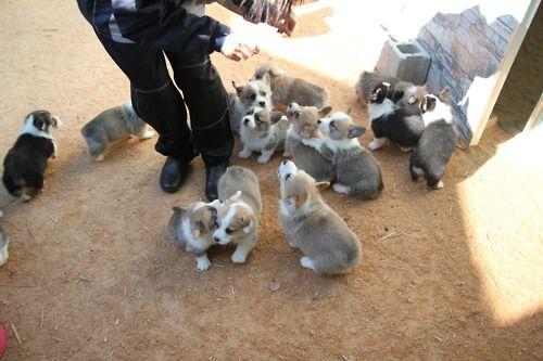 Puppy Stampede Corgi Obsessive Corgi Disorder Cute Animals