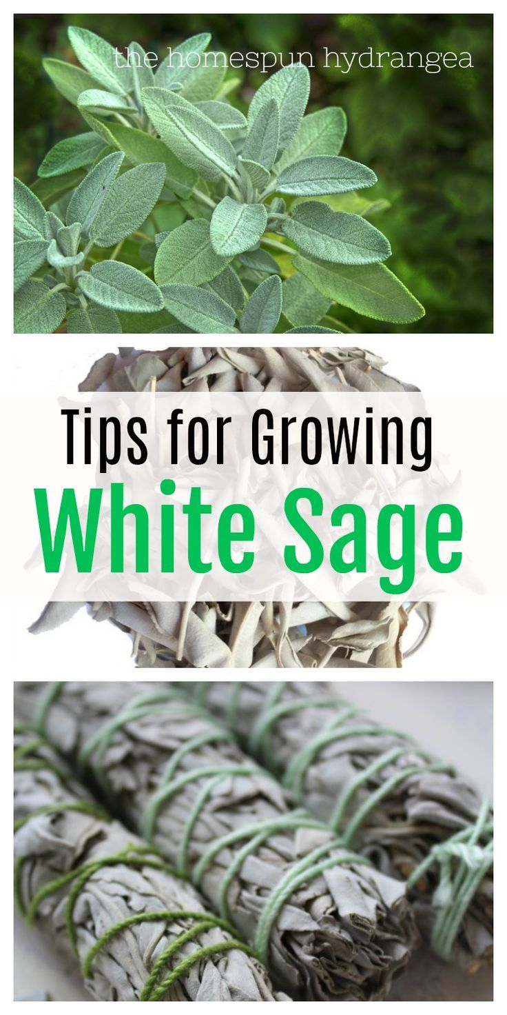 Tips on How to Grow White Sage In Your Garden  The Homespun Hydrangea is part of Garden - Grow your own white sage for smudge sticks when you consider these tips on How to Grow White Sage! You can grow in the garden or even containers!