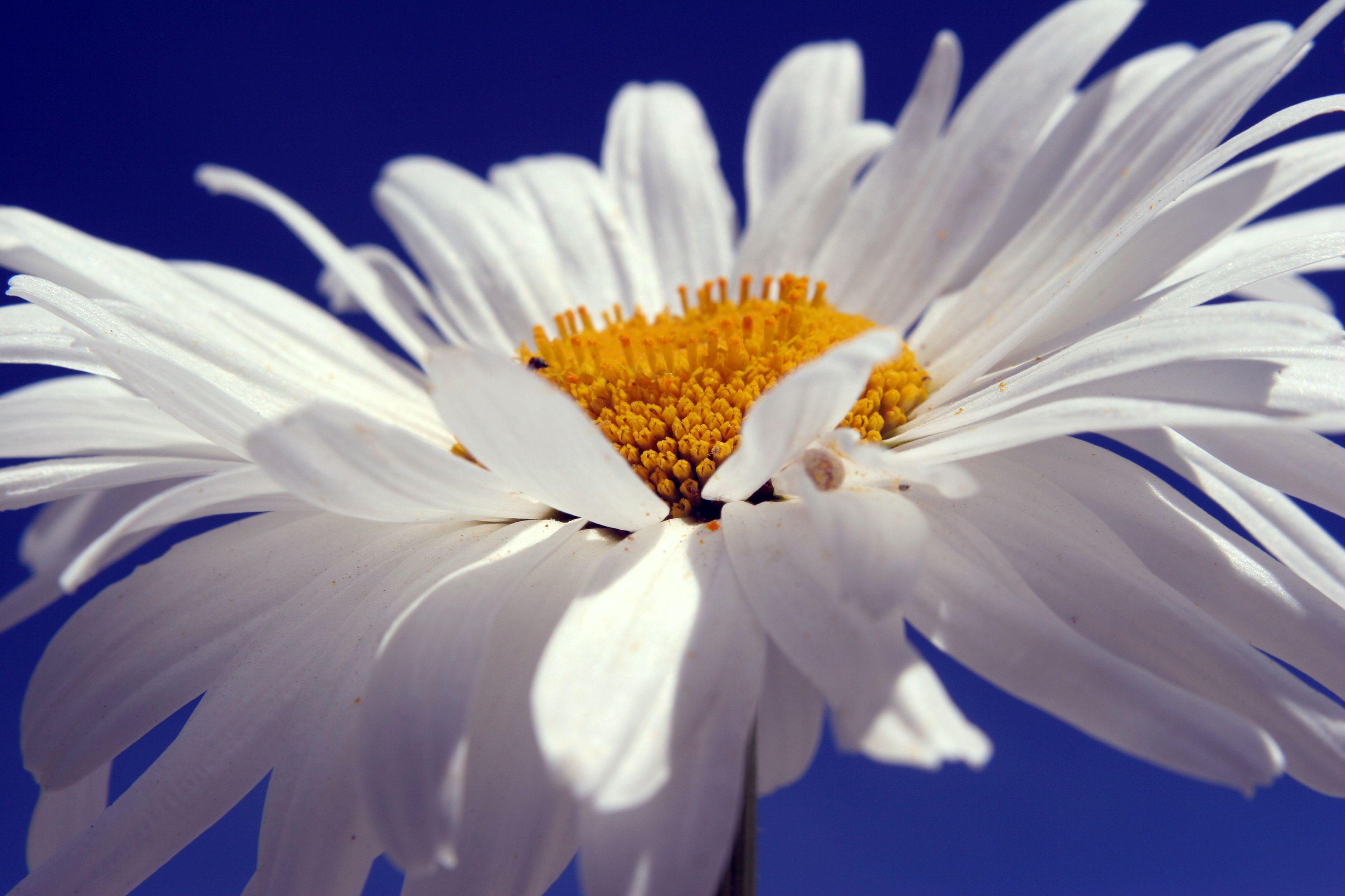 White daisy beautiful photography Daisy love, Happy