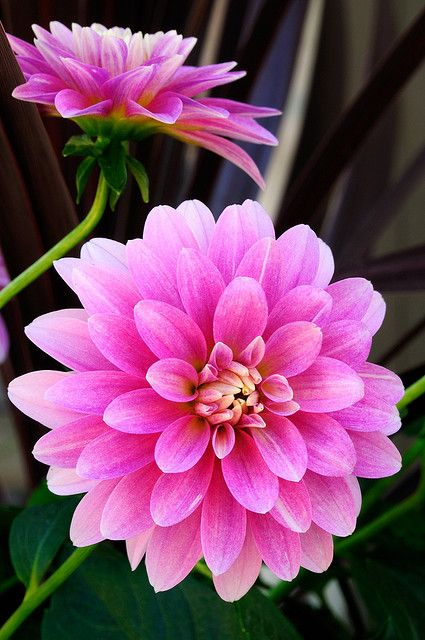 Vibrant Pink Dahlia has the same colour and fullness of a peony, but is available late summer-early fall #peonyalternative