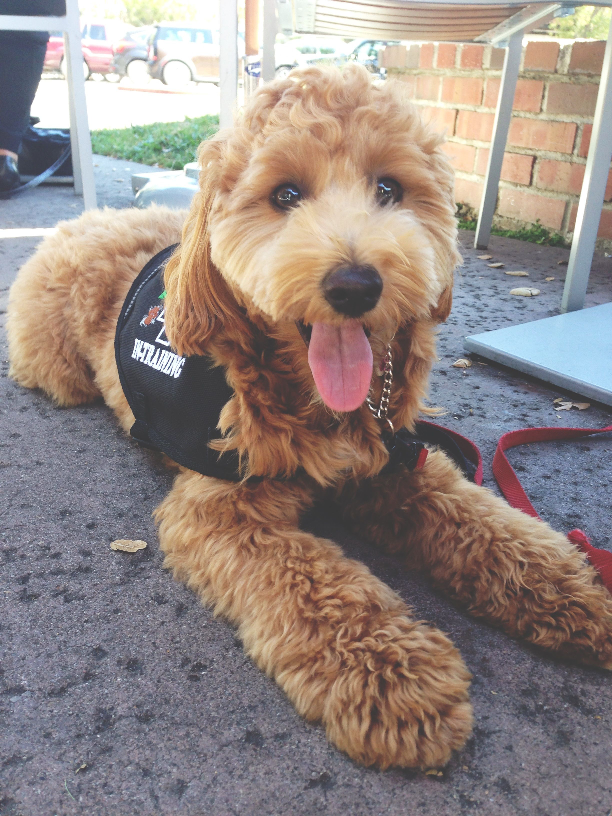 mini goldendoodle Animals Pinterest Mini