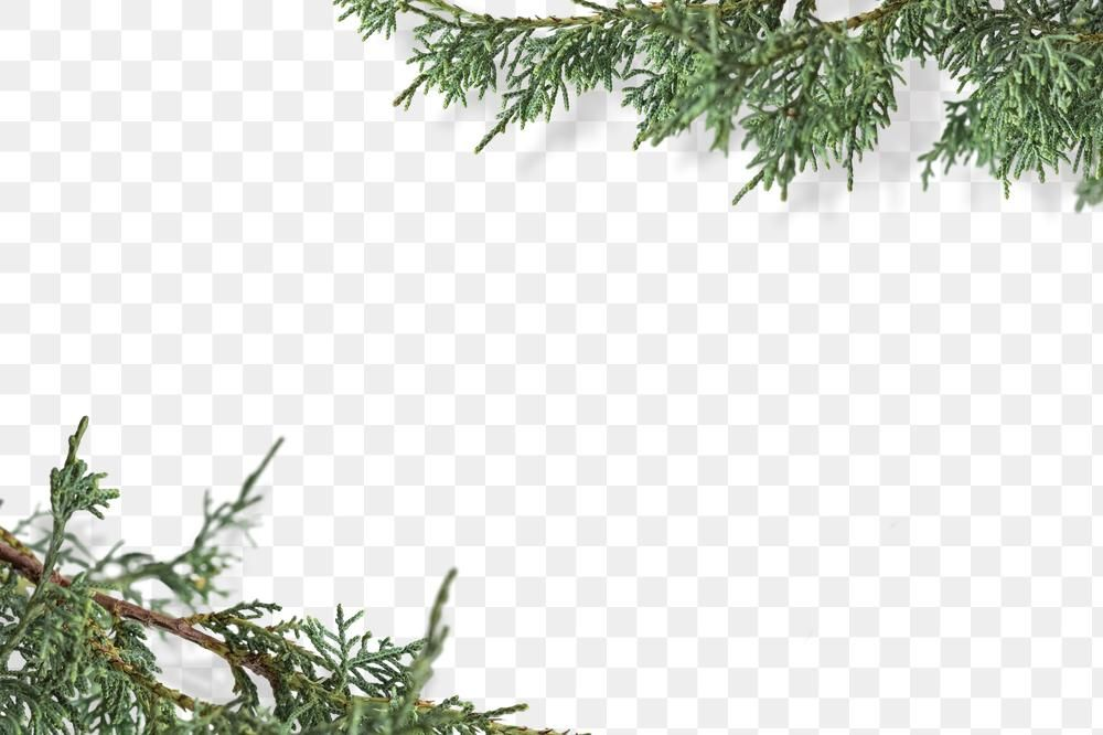 Png Pine Branches Border Transparent Background Free Image By Rawpixel Com Marinemynt Transparent Background Christmas Background Pine Branch