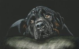 Wallpapers Hd Black Rottweiler Breed Dog Animaux Pinterest