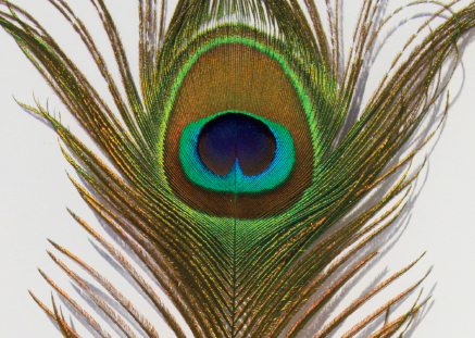 How To Draw An Iridescent Pea Feather In Coloured Pencil
