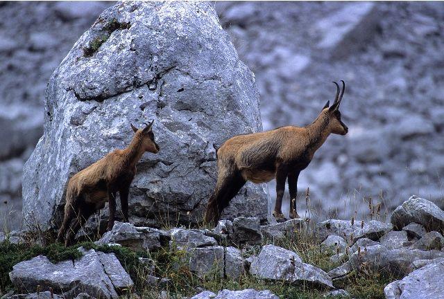 National Park Abruzzo, Lazio and Molise - Apennine chamoises